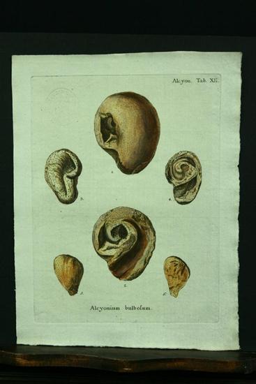 Alcyonium bulbosum. - Kupferstich, altkoloriert.: Esper, E. J.