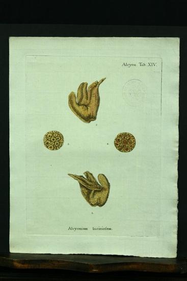Alcyonium laciniosum. - Kupferstich, altkoloriert.: Esper, E. J.
