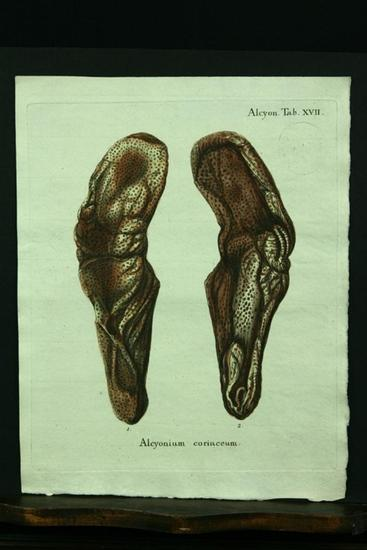 Alcyonium coriaceum. - Kupferstich, altkoloriert.: Esper, E. J.