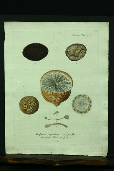 Alcyonium Lyncurium. Linn. Sp. 7. Alc. aurantium: Esper, E. J.
