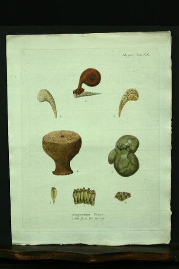 Alcyonium Ficus. Linn. sp.10. Pall. nr.209. -: Esper, E. J.