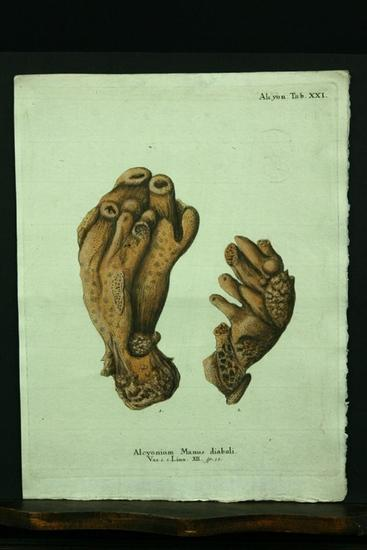 Alcyonium Manus diaboli. Var. 1. 2. Linn.: Esper, E. J.