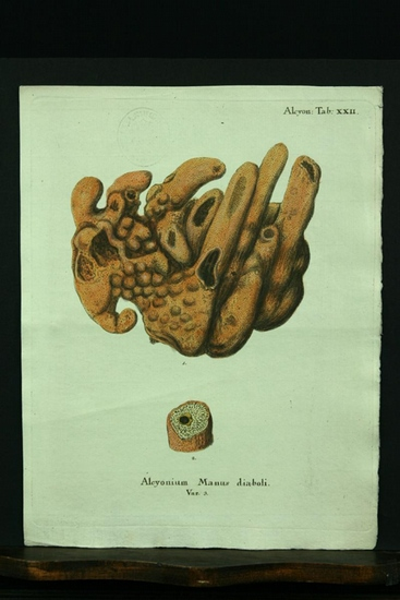 Alcyonium Manus diaboli. Var. 3. - Kupferstich,: Esper, E. J.