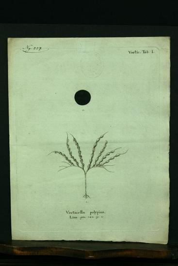 Vorticella polypina. Linn. gen. 348. sp. 2.: Esper, E. J.