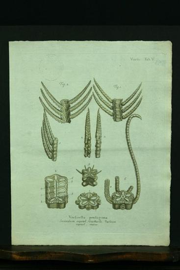 Vorticella pentagona. Secundum repraes. Guettardi. Partium repraes.: Esper, E. J.