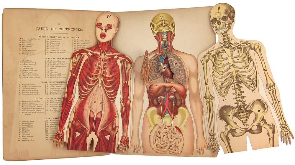 Whittakers Anatomical Model A Pictorial Representation Of The
