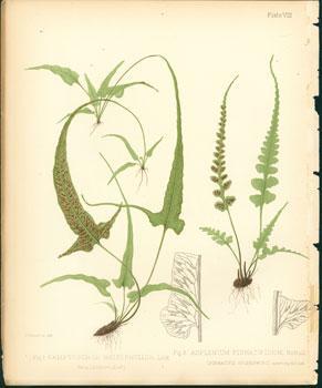 Camptosorus Rhizophyllus, Asplenium Pinnatifidum.: Emerton, J. H.