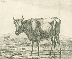 Souderlands Steer.