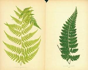 Hypolepis Amaurorachis (II). Asplenium Foliolosum (XLIV).