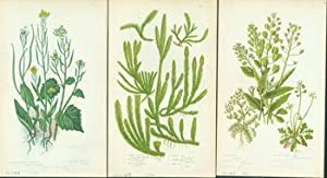 Worm-Seed Treacle Mustard, Common Club Moss, & Penny Cress. Loose Prints from Flowering Plants ...