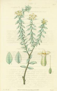 Pimelea Arenaria. Sand Pimelea.Engraving # 3270 from: Hooker, William Jackson;