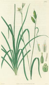 Anthericum? Plumosum. Bearded-Flowered Anthericum. Engraving # 3084: Hooker, William Jackson;