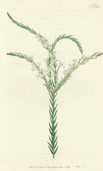Struthiola Erecta. Smooth Struthiola. Engraving # 222: Curtis, William; F.