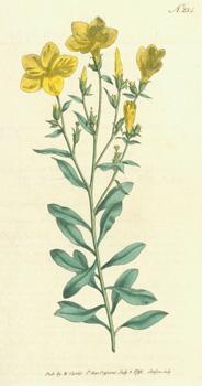 Linum Arboreum. Tree Flax. Engraving # 234: Curtis, William; F.