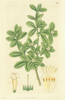 Alyxia Daphnoides. Daphne-like Alyxia.Engraving # 3313 from: Hooker, William Jackson;