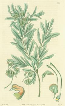 Grevillea Canescens. Hoary Grevillea. Engraving # 3185: Hooker, William Jackson;