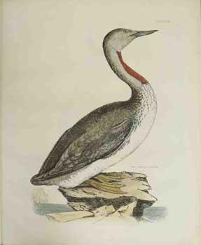 Red Throated Diver - Plate LXXVIII. Plates: Selby, Prideaux John