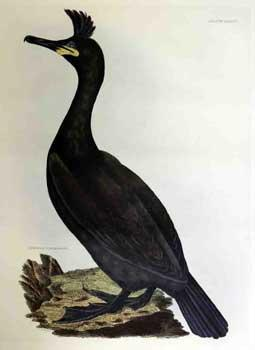 Crested Cormorant - Plate LXXXVI.Plates to Selby's: Selby, Prideaux John