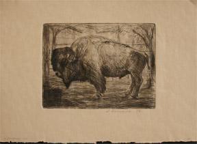 Bison.: Schneider, L.