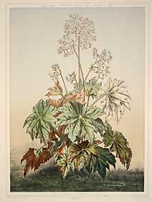 Begonia Ricinifolia from Les Promenades de Paris.: Lambotte, P. and Grobon, F.