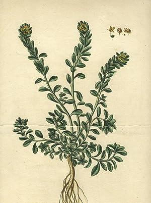 """Ionthlaspi, luteo flore, incanum, montanum .[caption title]."""" From: """"Hortus romanus .&..."""