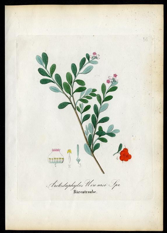Bärentraube   Arctostaphylos Uva-ursi: David N. F.