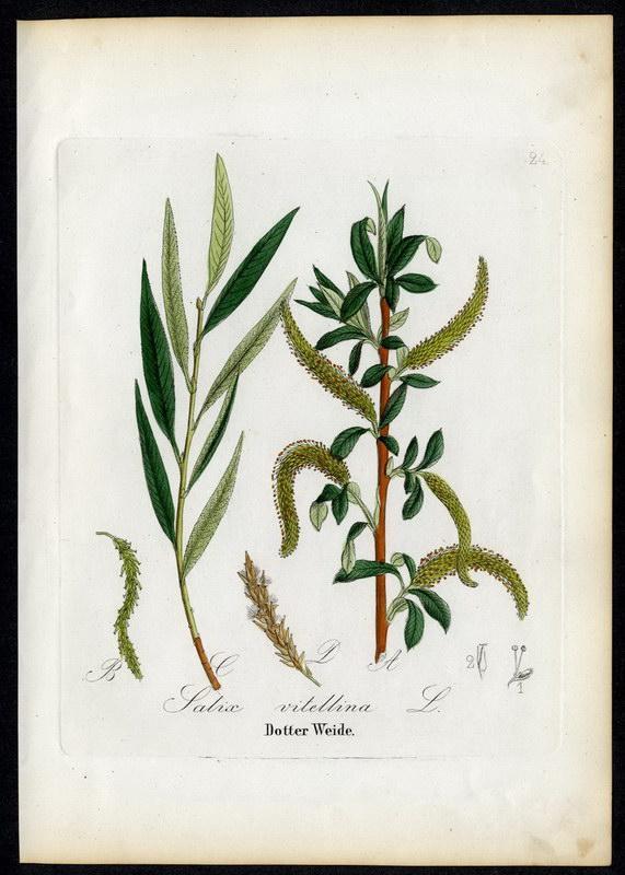 Dotter-Weide Salix vitellina: David N. F.