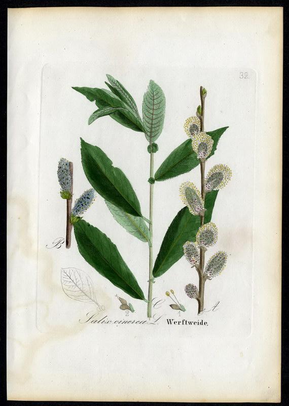 Werftweide   Salix cinerea: David N. F.