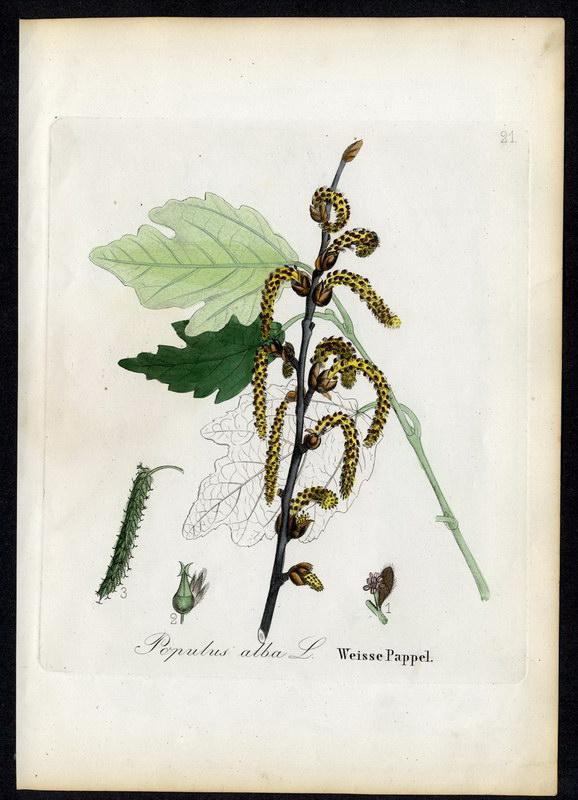Weisse Pappel   Populus alba: David N. F.