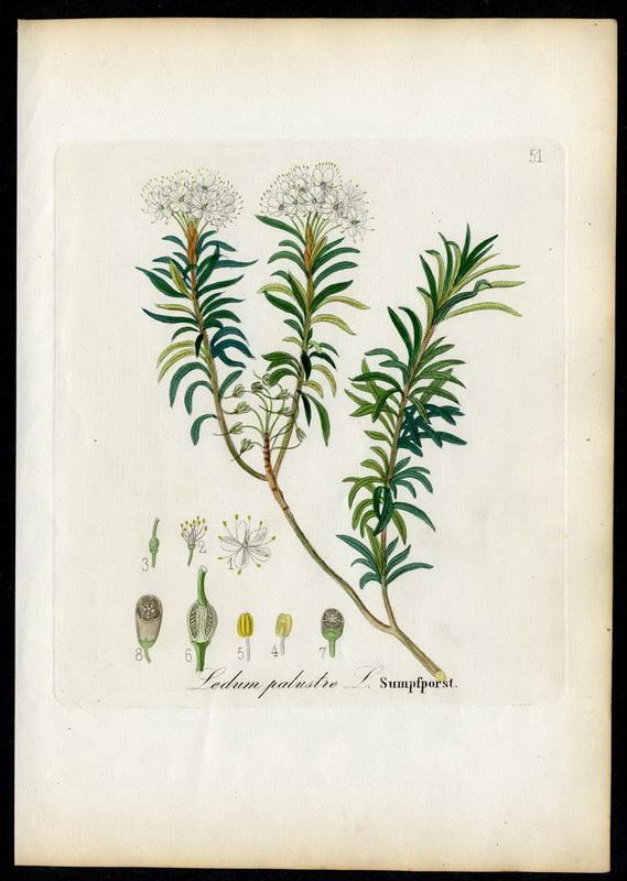 Sumpfporst   Ledum palustre: David N. F.