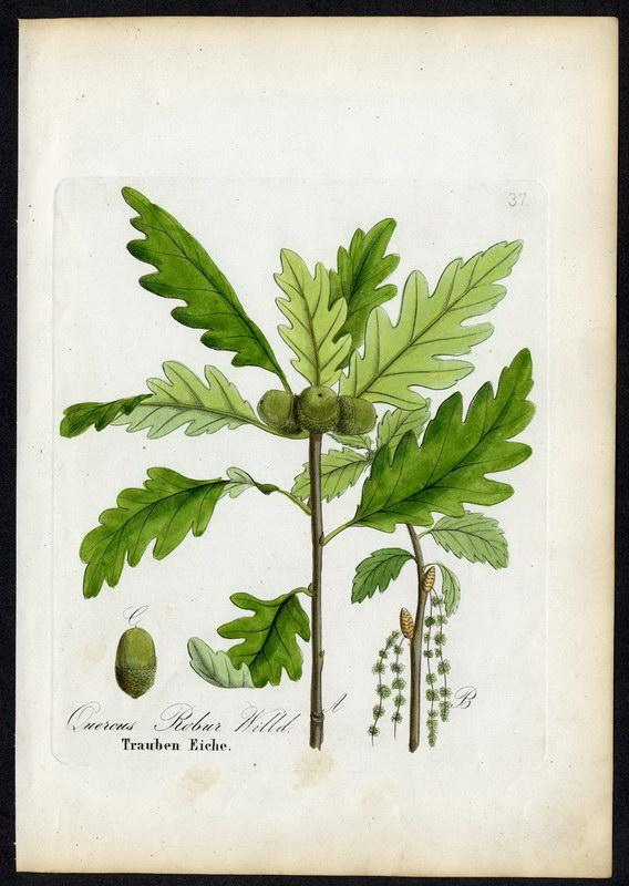 Trauben-Eiche   Quercus Robur: David N. F.