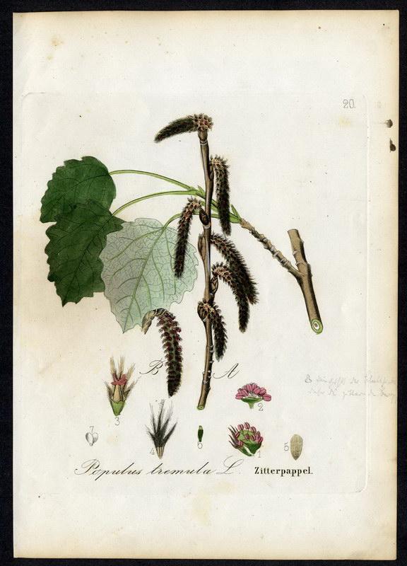 Zitterpappel   Populus tremula: David N. F.