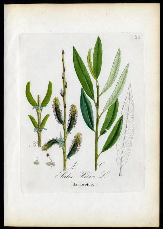 Bachweide   Salix Helix: David N. F.