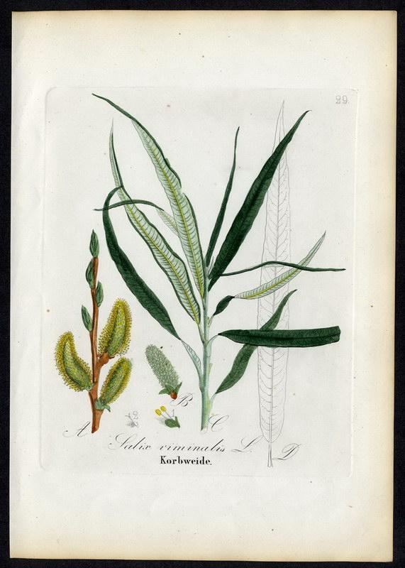 Korbweide   Salix viminalis: David N. F.