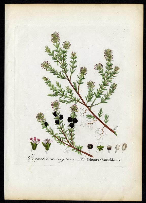 Schwarze Rauschbeere   Empetrum nigrum: David N. F.