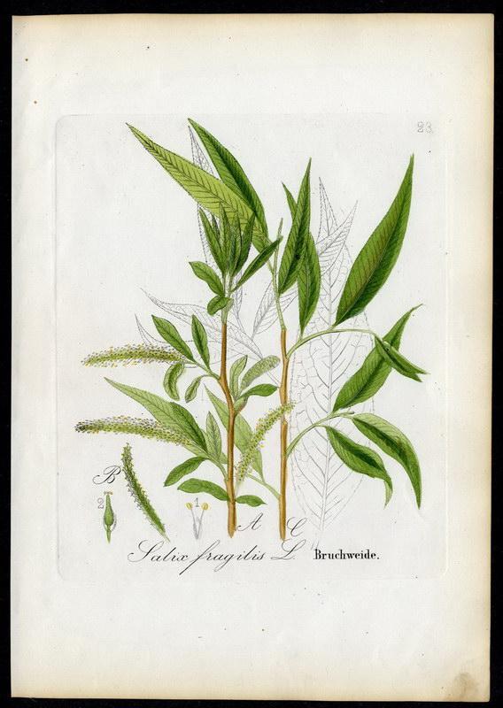 Bruchweide   Salix fragilis: David N. F.