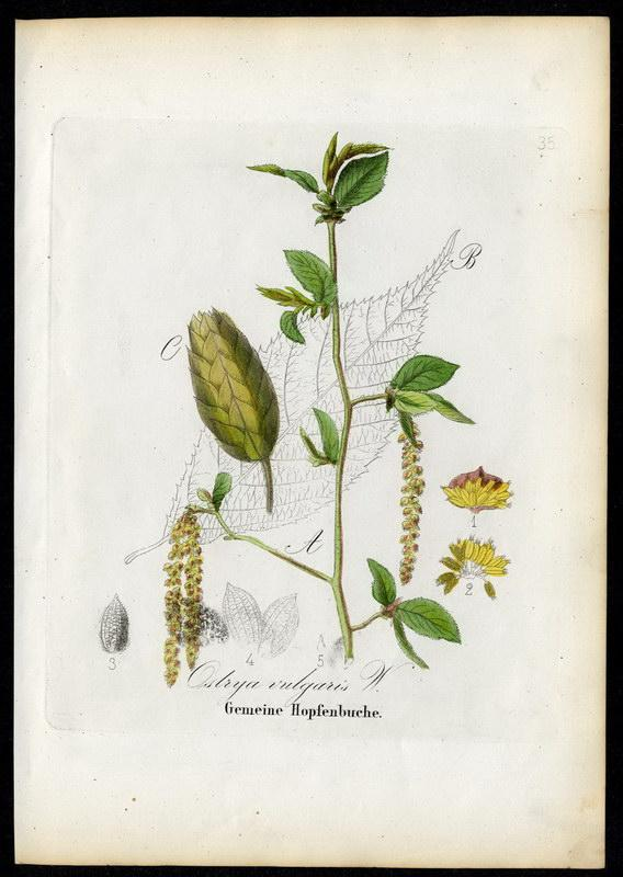 Gemeine Hopfenbuche   Ostrya vulgaris: David N. F.