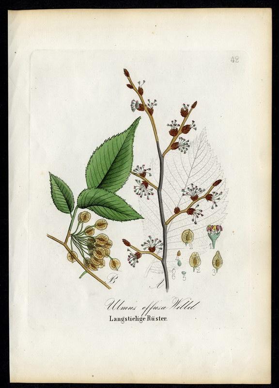 Langstielige Rüster   Ulmus effusa: David N. F.