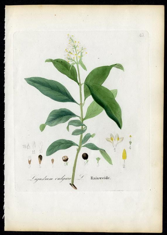 Rainweide   Ligustrum vulgare: David N. F.