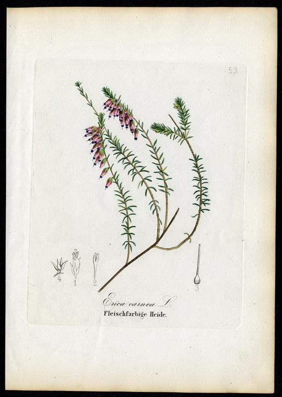 Fleischfarbige Heide   Erica carnea: David N. F.