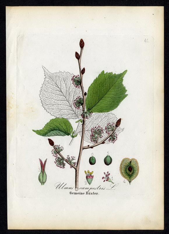 Gemeine Rüster   Ulmus campestris: David N. F.