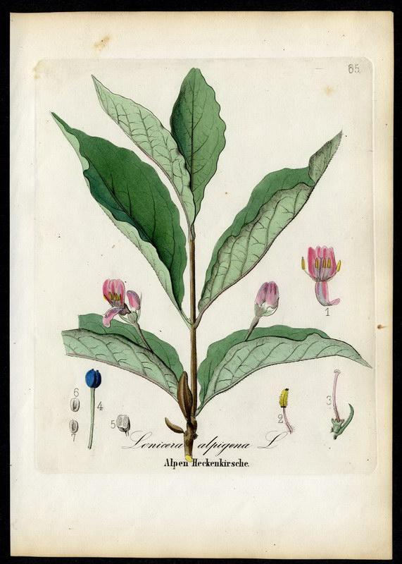 Alpen-Heckenkirsche   Lonicera alpigena: David N. F.