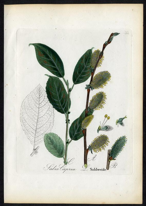 Sahlweide   Salix Caprea: David N. F.