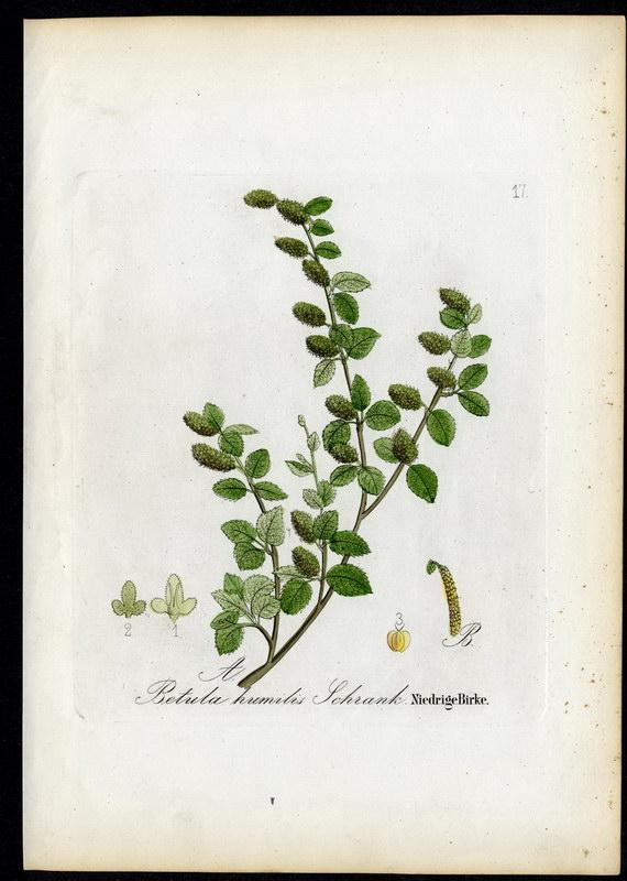 Niedrige Birke   Betula humilis: David N. F.