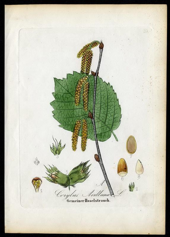 Gemeiner Haselstrauch   Corylus Avellana: David N. F.
