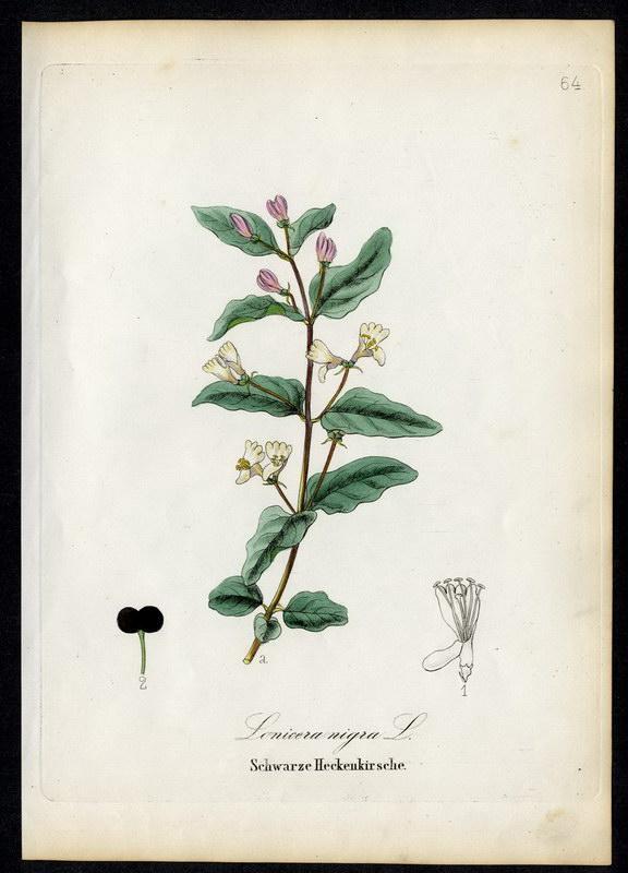 Schwarze Heckenkirsche   Lonicera nigra: David N. F.