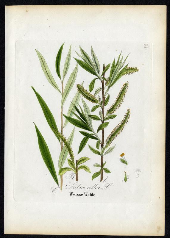 Weisse Weide   Salix alba: David N. F.