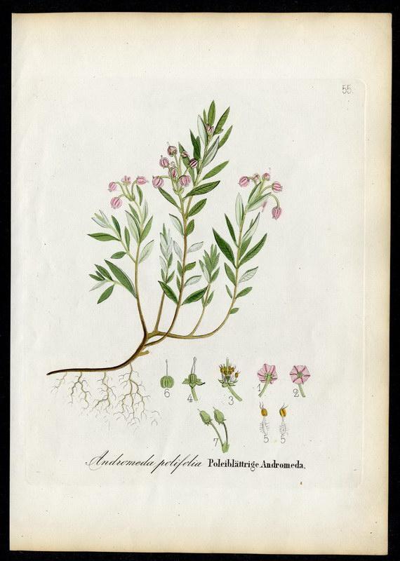 Poleiblättrige Adromeda   Andromeda polifolia: David N. F.