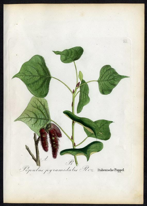Italienische Pappel   Populus pyramidalis: David N. F.