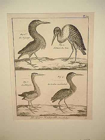 Histoire Naturelle, Ornithologie. Original-Kupferstich mit 4 Vögeln: Benard
